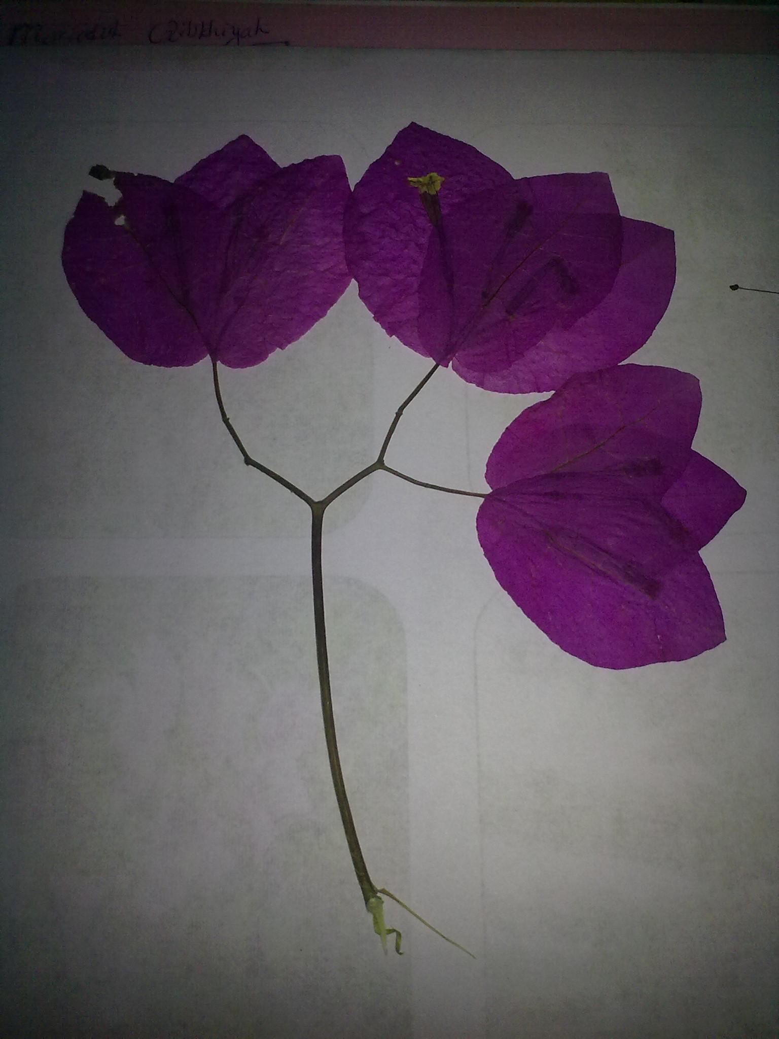 Gambar Bunga Kertas Dan Bagiannya Gambar Bunga